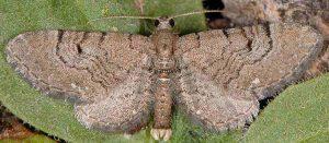 Eupithecia alliaria 06 3