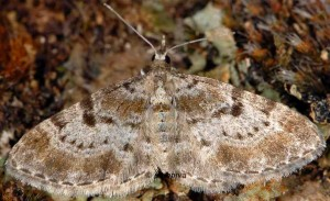 Eupithecia analoga 06 1