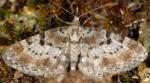 Eupithecia analoga 06 2