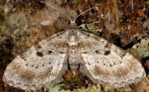 Eupithecia analoga 06 3