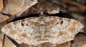 Eupithecia analoga 06 4