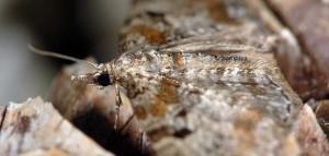 Eupithecia analoga 06 5