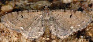 Eupithecia assimilata 06 1