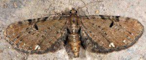 Eupithecia assimilata 06 3