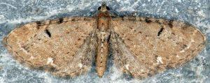 Eupithecia assimilata 73 1