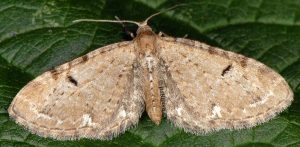 Eupithecia assimilata 73 2