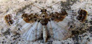 Eupithecia breviculata 06 2