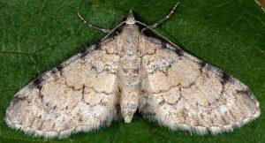 Eupithecia carpophagata 06 1