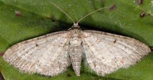 Eupithecia cauchiata 06 1