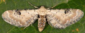 Eupithecia centaureata 06 1