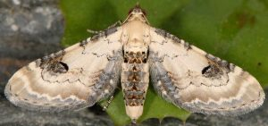 Eupithecia centaureata 11 1