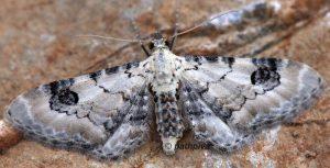 Eupithecia centaureata 34 1