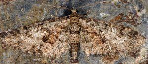 Eupithecia cocciferata 06 1
