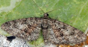 Eupithecia cocciferata 06 2