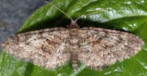 Eupithecia cocciferata 13 1