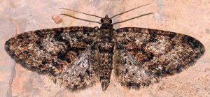 Eupithecia cocciferata 34 1