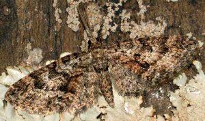 Eupithecia cocciferata 66 1
