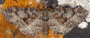 Eupithecia cocciferata 83 1