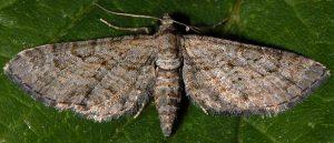 Eupithecia cooptata 66 1
