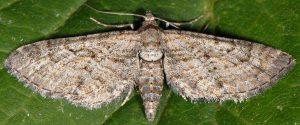 Eupithecia cooptata 66 2