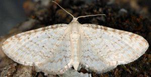 Eupithecia cretaceata 06 1