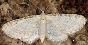 Eupithecia cretaceata 06 2