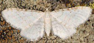 Eupithecia cretaceata 06 3