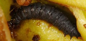 Eupithecia cretaceata L3 06 1