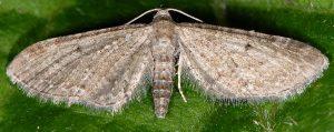 Eupithecia denotata 06 1