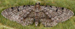 Eupithecia distinctaria 06 1