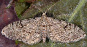Eupithecia distinctaria 06 2