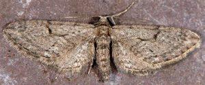 Eupithecia distinctaria 06 3