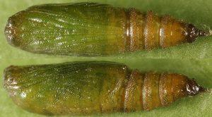 Eupithecia distinctaria
