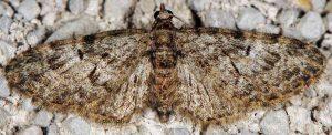 Eupithecia dodoneata 06 1