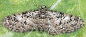 Eupithecia dodoneata 06 2