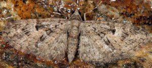 Eupithecia dodoneata 06 3