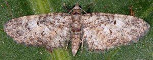 Eupithecia dodoneata 83 1