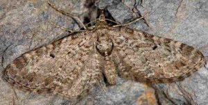 Eupithecia druentiata 06 1
