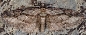 Eupithecia ericeata 06 1