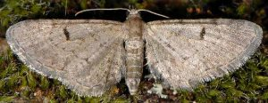 Eupithecia extraversaria 05 2