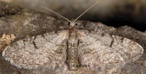 Eupithecia extraversaria 2B 1