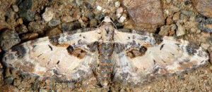 Eupithecia extremata 2B 3