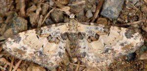 Eupithecia extremata 2B 6