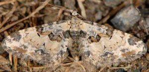 Eupithecia extremata 2B 7