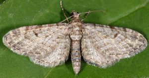 Eupithecia gemellata 05 1