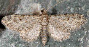 Eupithecia gemellata 05 2
