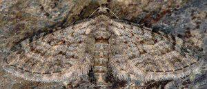 Eupithecia gemellata 06 1