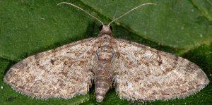 Eupithecia gemellata 2B 2