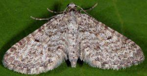 Eupithecia graphata 06 1