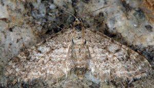 Eupithecia graphata 38 1